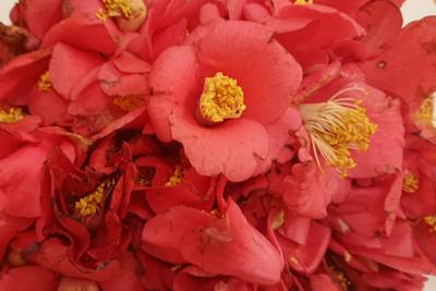 ツバキの花びら