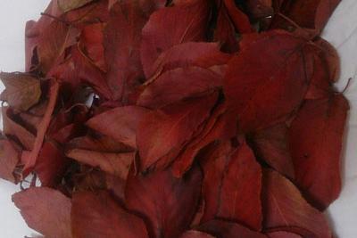 山桜の落ち葉
