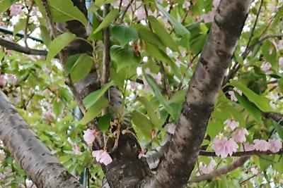 八重桜の樹木と花