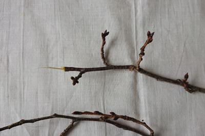 ソメイヨシノの枝