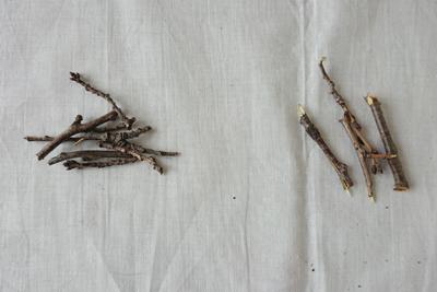 ソメイヨシノ古い枝と新しい枝