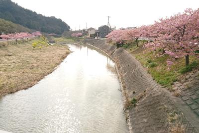 川沿いの頼朝桜並木