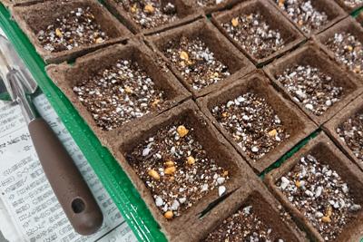 紫根を種まきしたポット