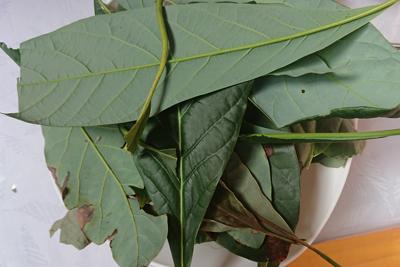 アボカドの葉