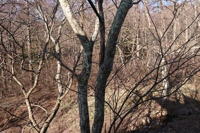 ウメノキゴケのついた桜の木