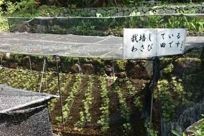 大滝神社のわさび田