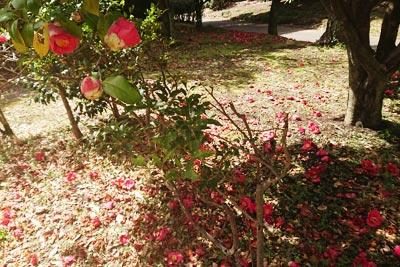 落ちている椿の花