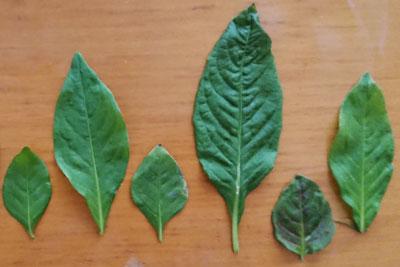 藍の葉種類別