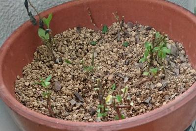 藍の葉を根こそぎ収穫