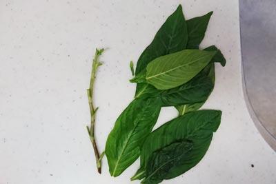 藍の葉と茎に分ける