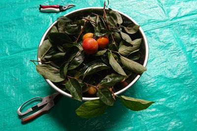 採取した柿の枝と葉と実