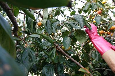 柿の枝葉を採取