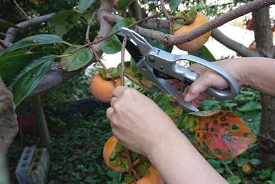 柿の実付き枝の採取