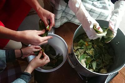 柿の葉をちぎる作業
