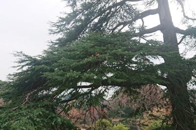 新宿御苑のヒマラヤスギ