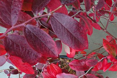 ブルーベリーの枝葉