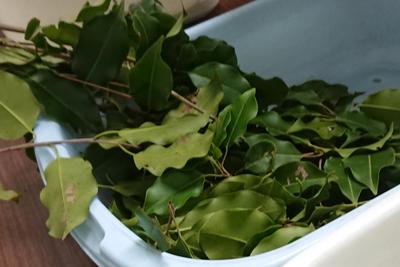 ソヨゴの葉っぱ