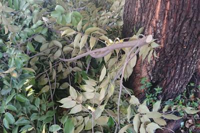 スダジイの木