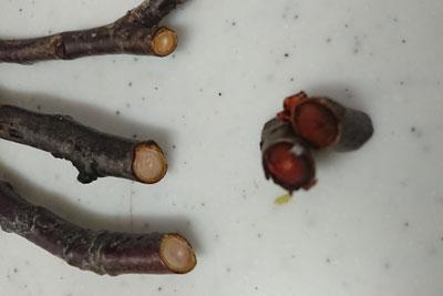 梅の枝の断面