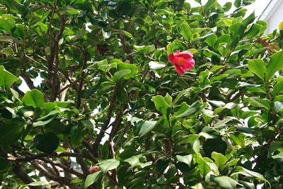 お庭の椿の花