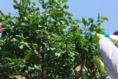 椿の枝の剪定