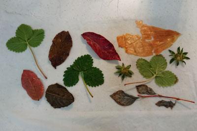エコプリント植物配置
