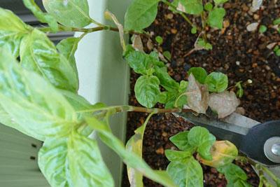 藍の茎をハサミで切る