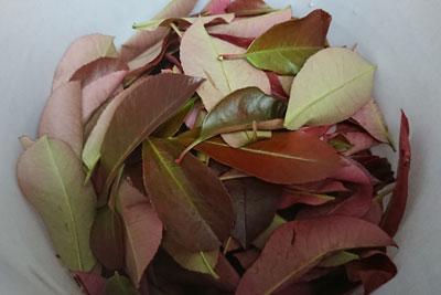 ベニカナメモチの葉