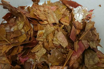 残ったベニカナメモチの葉