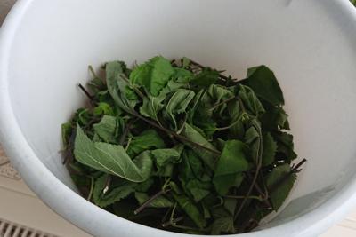 セージの葉や茎をカット