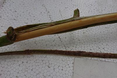 枇杷の枝の皮をむく