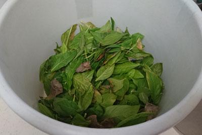 ベランダ採取した藍の葉