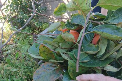 柿の剪定枝