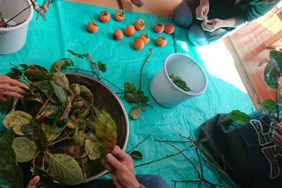 柿の枝と葉の染色下処理