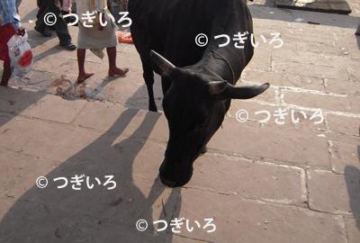 バラナシの牛の顔