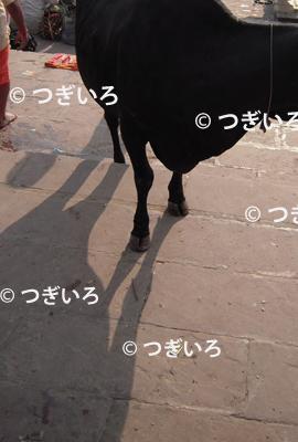 バラナシの牛の蹄