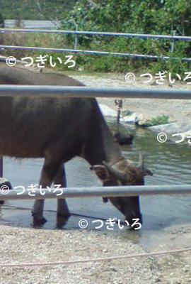 沖縄の水牛