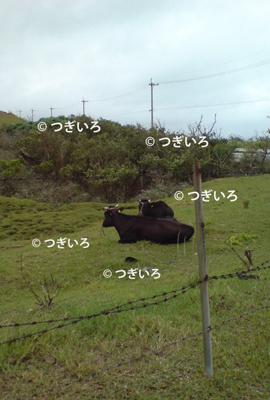 沖縄の牧場の牛