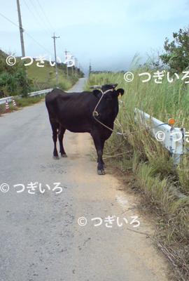 小浜島の道端の牛