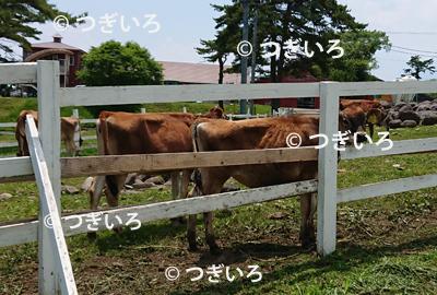 八ヶ岳の牧場の牛