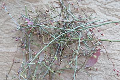 ブルーベリーの剪定枝