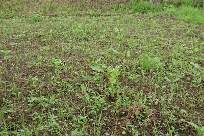雑草だらけの藍畑