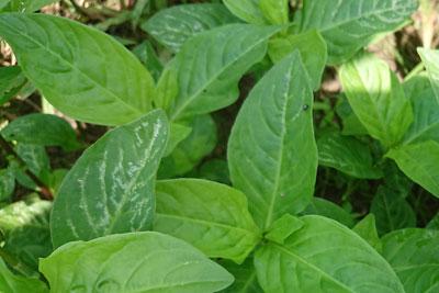 白い斑点のある葉