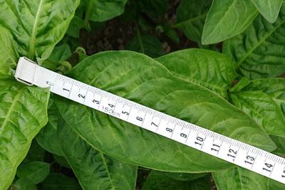 14cmの藍の葉